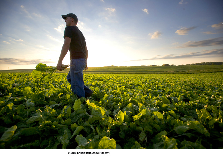 Pre-harvest of sugarbeets in Minnesota : agriculture : JOHN BORGE STUDIOS Fargo North Dakota Photography Advertising, Public Relations