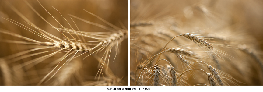 Detail of wheat in South Dakota : agriculture : JOHN BORGE STUDIOS Fargo North Dakota Photography Advertising, Public Relations