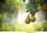 Pears in Oregon