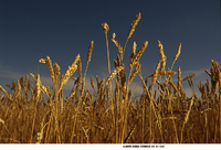 Mixed light sources add depth to this field of grain