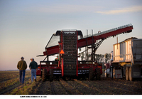 Sugar beet harvest near Fargo, North Dakota
